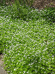 Sweet Woodruff (Galium odoratum) at Jensen's Nursery & Landscaping