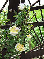 J.P. Connell Rose (Rosa 'J.P. Connell') at Jensen's Nursery & Landscaping