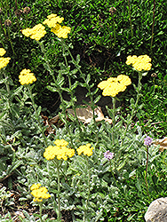 Wooly Yarrow (Achillea tomentosa) at Jensen's Nursery & Landscaping