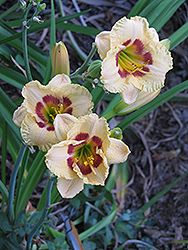 Canadian Border Patrol Daylily (Hemerocallis 'Canadian Border Patrol') at Jensen's Nursery & Landscaping