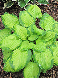 Stained Glass Hosta (Hosta 'Stained Glass') at Jensen's Nursery & Landscaping