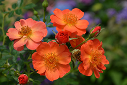 Oso Easy® Paprika Rose (Rosa 'ChewMayTime') at Jensen's Nursery & Landscaping