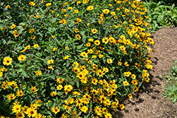 Summer Nights False Sunflower (Heliopsis helianthoides 'Summer Nights') at Jensen's Nursery & Landscaping