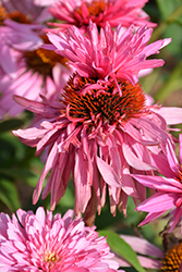 Double Decker Coneflower (Echinacea purpurea 'Double Decker') at Jensen's Nursery & Landscaping
