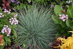 Beyond Blue™ Blue Fescue (Festuca glauca 'Casca11') at Jensen's Nursery & Landscaping