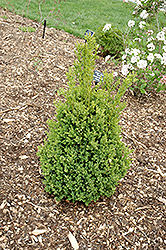 Green Mountain Boxwood (Buxus 'Green Mountain') at Jensen's Nursery & Landscaping