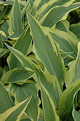 Lakeside Dragonfly Hosta (Hosta 'Lakeside Dragonfly') at Jensen's Nursery & Landscaping