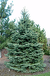 Baby Blue Eyes Spruce (Picea pungens 'Baby Blue Eyes') at Jensen's Nursery & Landscaping