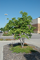 Korean Maple (Acer pseudosieboldianum) at Jensen's Nursery & Landscaping