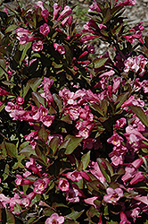 Samba Weigela (Weigela florida 'Samba') at Jensen's Nursery & Landscaping