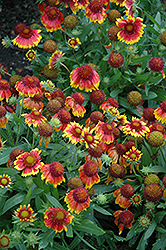 Arizona Sun Blanket Flower (Gaillardia x grandiflora 'Arizona Sun') at Jensen's Nursery & Landscaping