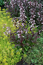 Dark Towers Beard Tongue (Penstemon 'Dark Towers') at Jensen's Nursery & Landscaping