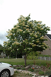 Japanese Tree Lilac (Syringa reticulata) at Jensen's Nursery & Landscaping