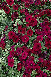 Easy Wave Burgundy Velour Petunia (Petunia 'Easy Wave Burgundy Velour') at Jensen's Nursery & Landscaping