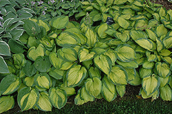 Paradigm Hosta (Hosta 'Paradigm') at Jensen's Nursery & Landscaping