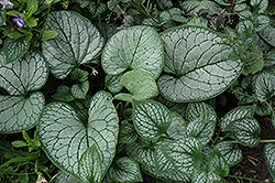 Sea Heart Bugloss (Brunnera macrophylla 'Sea Heart') at Jensen's Nursery & Landscaping