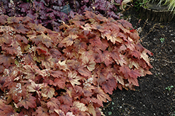 Sweet Tea Foamy Bells (Heucherella 'Sweet Tea') at Jensen's Nursery & Landscaping