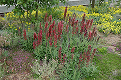 Red Feathers (Echium amoenum) at Jensen's Nursery & Landscaping