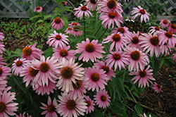 Magnus Superior Coneflower (Echinacea purpurea 'Magnus Superior') at Jensen's Nursery & Landscaping