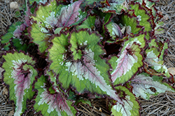Jurassic Watermelon Begonia (Begonia 'Jurassic Watermelon') at Jensen's Nursery & Landscaping
