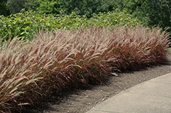 Purple Fountain Grass (Pennisetum setaceum 'Rubrum') at Jensen's Nursery & Landscaping