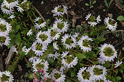 Fairy White Fan Flower (Scaevola aemula 'Fairy White') at Jensen's Nursery & Landscaping