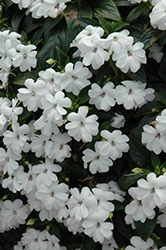 Big Bounce™ White Impatiens (Impatiens 'Balbigite') at Jensen's Nursery & Landscaping