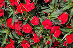 SunPatiens® Compact Red New Guinea Impatiens (Impatiens 'SunPatiens Compact Red') at Jensen's Nursery & Landscaping