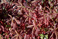 Red Gnome Dogwood (Cornus alba 'Regnzam') at Jensen's Nursery & Landscaping