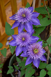 Multi Blue Clematis (Clematis 'Multi Blue') at Jensen's Nursery & Landscaping