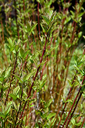 Arctic Fire® Red Twig Dogwood (Cornus sericea 'Farrow') at Jensen's Nursery & Landscaping