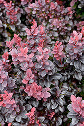 Concorde Japanese Barberry (Berberis thunbergii 'Concorde') at Jensen's Nursery & Landscaping