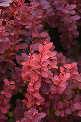 Ruby Carousel Japanese Barberry (Berberis thunbergii 'Bailone') at Jensen's Nursery & Landscaping
