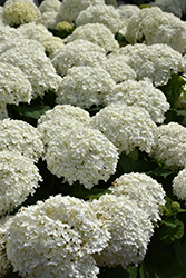 Incrediball® Hydrangea (Hydrangea arborescens 'Abetwo') at Jensen's Nursery & Landscaping