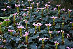 Hot Lips Turtlehead (Chelone lyonii 'Hot Lips') at Jensen's Nursery & Landscaping