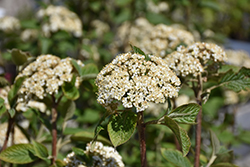 Mohican Viburnum (Viburnum lantana 'Mohican') at Jensen's Nursery & Landscaping