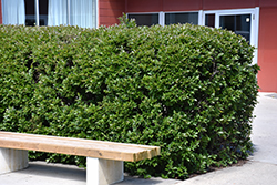 Hedge Cotoneaster (Cotoneaster lucidus) at Jensen's Nursery & Landscaping