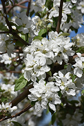 Norland Apple (Malus 'Norland') at Jensen's Nursery & Landscaping