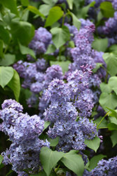 Wedgewood Blue Lilac (Syringa vulgaris 'Wedgewood Blue') at Jensen's Nursery & Landscaping
