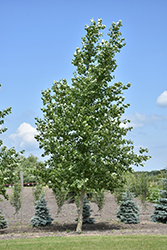 Northwest Poplar (Populus x jackii 'Northwest') at Jensen's Nursery & Landscaping