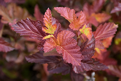 Center Glow Ninebark (Physocarpus opulifolius 'Center Glow') at Jensen's Nursery & Landscaping