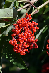 Red-Berried Elder (Sambucus racemosa) at Jensen's Nursery & Landscaping
