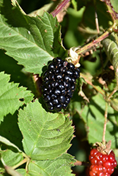 Chester Thornless Blackberry (Rubus 'Chester') at Jensen's Nursery & Landscaping