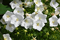 White Clips Bellflower (Campanula carpatica 'White Clips') at Jensen's Nursery & Landscaping