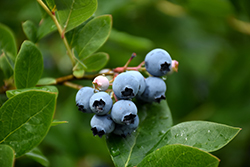 Northcountry Blueberry (Vaccinium 'Northcountry') at Jensen's Nursery & Landscaping