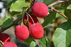 Dolgo Apple (Malus 'Dolgo') at Jensen's Nursery & Landscaping
