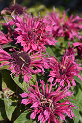 Cranberry Lace Beebalm (Monarda 'Cranberry Lace') at Jensen's Nursery & Landscaping
