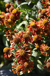 Ruby Tuesday Sneezeweed (Helenium 'Ruby Tuesday') at Jensen's Nursery & Landscaping
