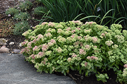 Autumn Delight Stonecrop (Sedum 'Autumn Delight') at Jensen's Nursery & Landscaping