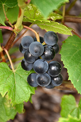 Beta Grape (Vitis 'Beta') at Jensen's Nursery & Landscaping